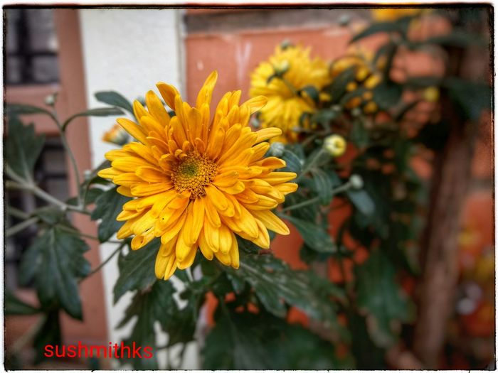 Flower Yellow Beauty In Nature Nature Flower Head Growth Blossom Close-up Yellow Color MotoZPlay Plant Freshness Garden Photography Single Flower