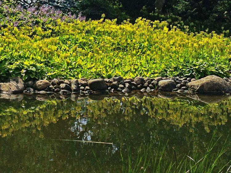 Yellow Flower Water Reflections Yellow Reflection_collection Water Reflection Stones Nature EyeEm Best Shots Jopesfotos - Nature