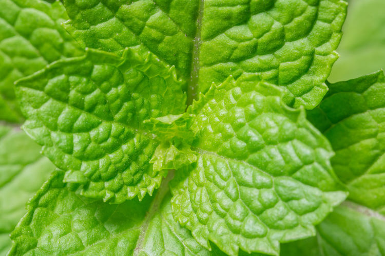 Take a close-up of Mentha × piperita Backgrounds Beauty In Nature Close-up Day Drop Food Food And Drink Freshness Full Frame Green Color Growth Healthy Eating Leaf Mint Leaf - Culinary Nature No People Outdoors Plant Vegetable Water
