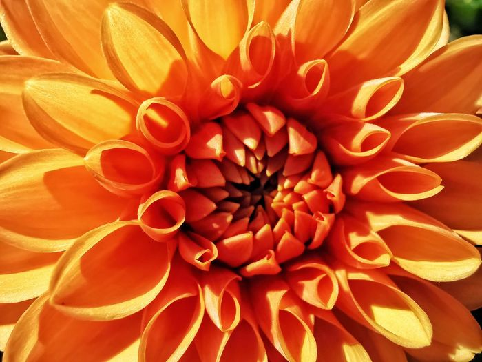 Close-up of orange dahlia