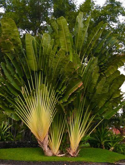 Plant Plants Plants Collection Tropical Paradise Tropical Plants Tropical Plant Island Plants Island Tropical Tropical Rainforest Bird Of Paradise