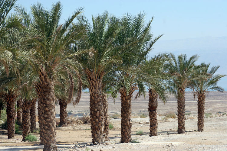 Palm trees in desert Botanical Branch Desert Flora Growth Israel Judea Landscape Leaves Nature Oasis Palestine Palm Tree Plant Rock Sand Scenics Tree Warm