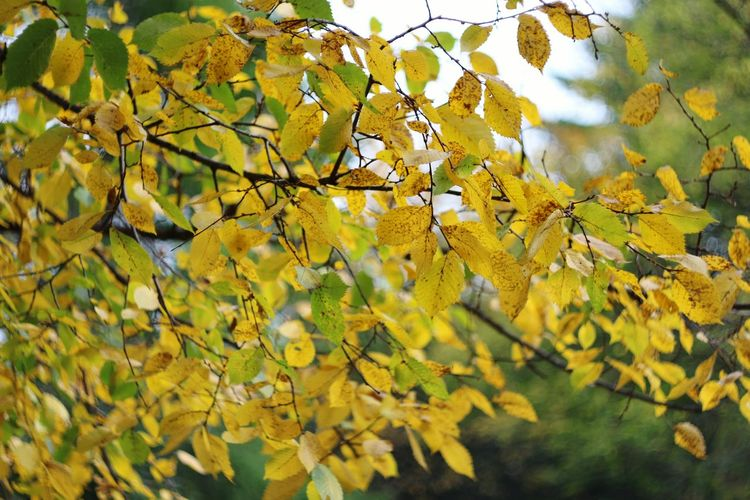 Autumn Autumn Colors Autumn Leaves Leaf Taking Photos Yellow Tree Helios 44-2 58mm F2 EyeEm Nature Lover EyeEm Best Shots Oldlens Beautiful