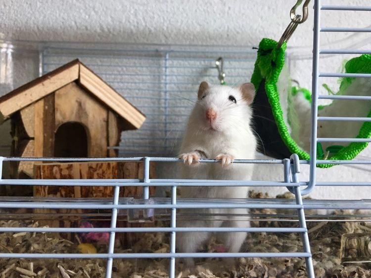 Hello People  Hamster her name is Lily Say Hello To My Little Friend Nature Animal Themes Mammal Domestic Animals Pets One Animal Indoors  No People Cage Day White Hamster Curious Animals Curious Say Hello Pet Portraits