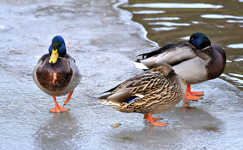 Animal Themes Animal Wildlife Animals In The Wild Bird Bright Coloured Ducks Close Up Day Duck Female Animal Ice Ice On Lake Lake Mallard Duck Nature No People Outdoors Reflection On Water Three Ducks Water Winter