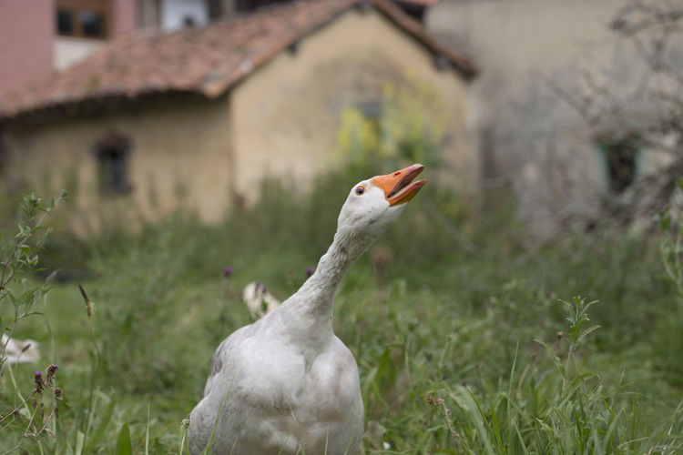 White Goose Amidst Grassy Field
