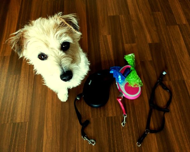 Jackrussell Dog Walk Leashes Flexi Leash Harness Ready-to-walk Good Dog Life Good Girl  Urban Dog Life Wannapee Let'sgotothepark Not Joking EyeEm Selects Pets Dog Cute