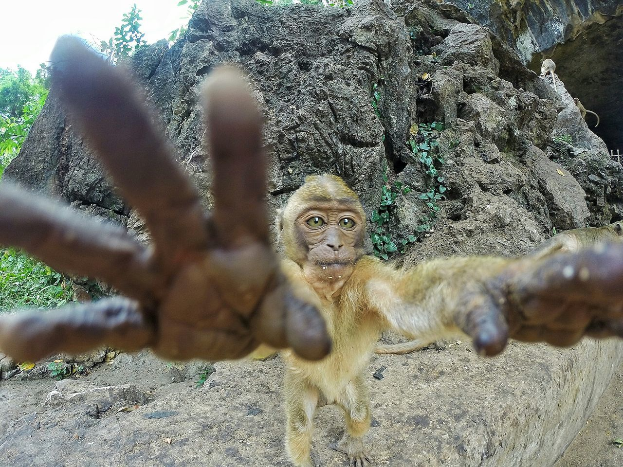 Close-up portrait of monkey with arms raised