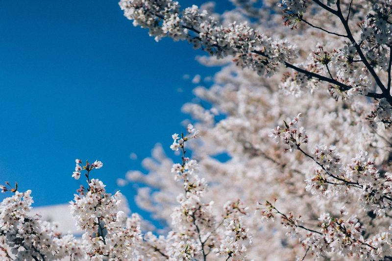 Bloom. Plant Beauty In Nature Tree Flower Nature Flowering Plant Growth Day Fragility No People Blossom Sky Low Angle View Branch Freshness Sunlight Springtime Cherry Blossom Tranquility Vulnerability
