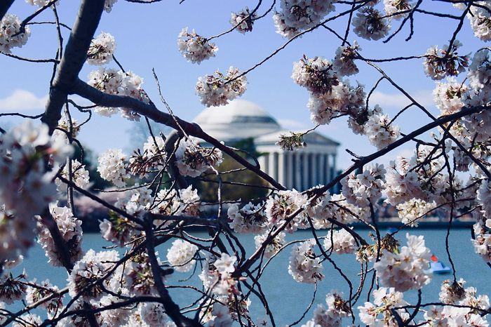 Great view of the Jefferson memorial from behind the cherry blossoms. Tree Plant Branch Flower Flowering Plant Low Angle View Sky Fragility Beauty In Nature No People Blossom Growth Nature Day Springtime Vulnerability  Freshness Built Structure Architecture Outdoors First Eyeem Photo