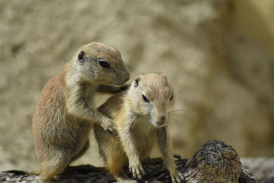 Prairie Dogs Prairiedog EyeEm Masterclass EyeEm Nature Lover Nature_collection Wildlife Prairie Dogs Prairiedogs Cute Cute Animals Animal Babies National Geographic Wildlife & Nature Togetherness Animal Family Two Care Animal Wildlife Animals In The Wild Animal Day Outdoors No People Mammal Full Length Close-up Nature Animal Themes Portrait