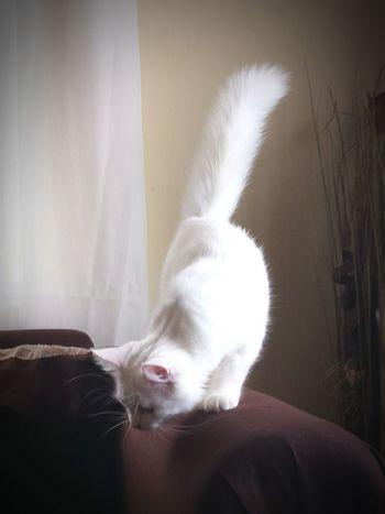 Cat♡ Cat Gato ? Beautiful Catlovers Angoracat Angora Kanyn Puertorico White