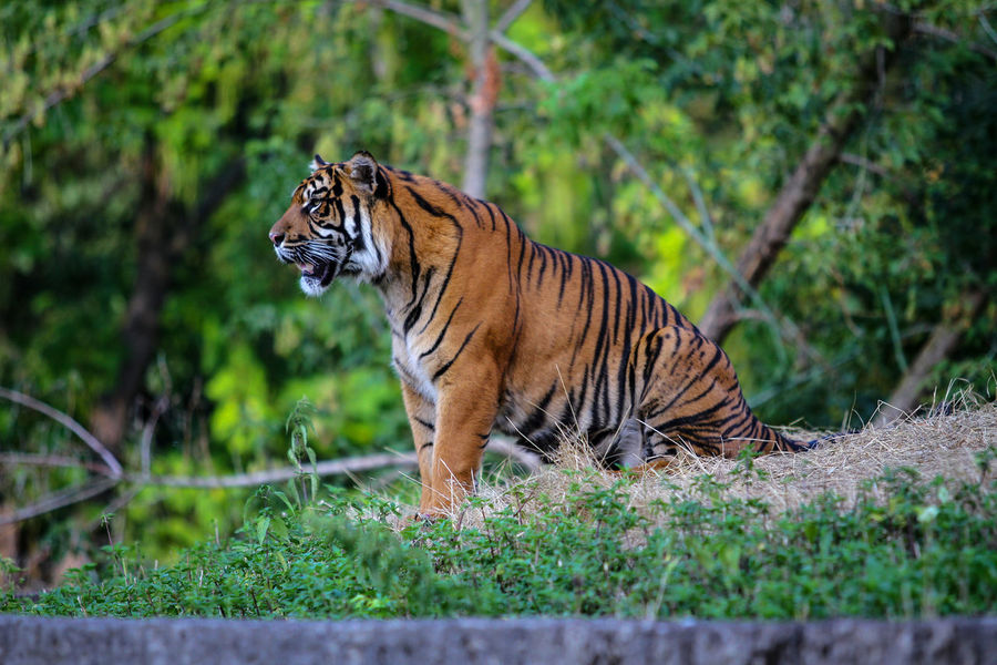 Animal Themes Animal Wildlife Animals In The Wild Day Endangered Species Full Length Mammal Nature No People One Animal Outdoors Tiger