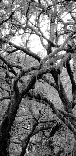 Come this way Blackandwhite Spanish Moss Tree Tree Branch Backgrounds Full Frame Close-up Sky Woods Tree Trunk Tree Canopy