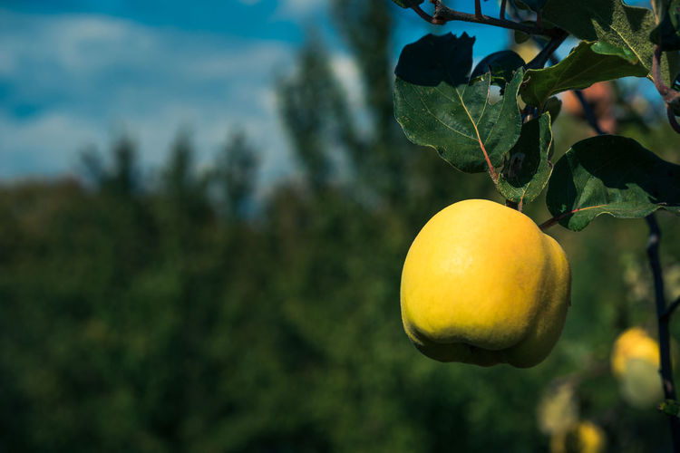 Quince Fruit on Branch Quince Branch Yellow Quince Tree Plant Food Tree Fruit Food And Drink Healthy Eating Leaf Plant Part Focus On Foreground Growth Freshness No People Nature Close-up Citrus Fruit Fruit Tree Day Outdoors Ripe Green Color Backgrounds