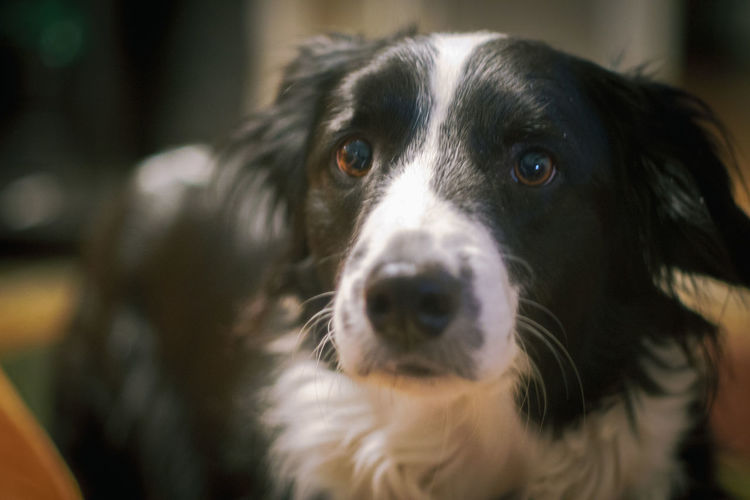 A border collie goes about its daily life inside a house Border Collie Alert Alertness Animal Themes Close-up Day Dog Domestic Animals Indoors  Inside Mammal Nap No People One Animal Pets