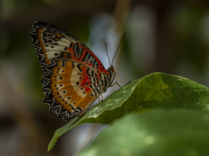 Animal Animal Themes Animal Wildlife Animal Wing Animals In The Wild Beauty In Nature Butterfly Butterfly - Insect Close-up Day Green Color Growth Insect Invertebrate Leaf Nature No People One Animal Outdoors Plant Plant Part Pollination Selective Focus