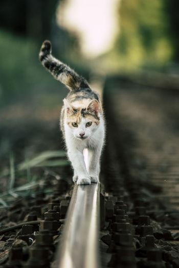 Portrait of cat on railroad track