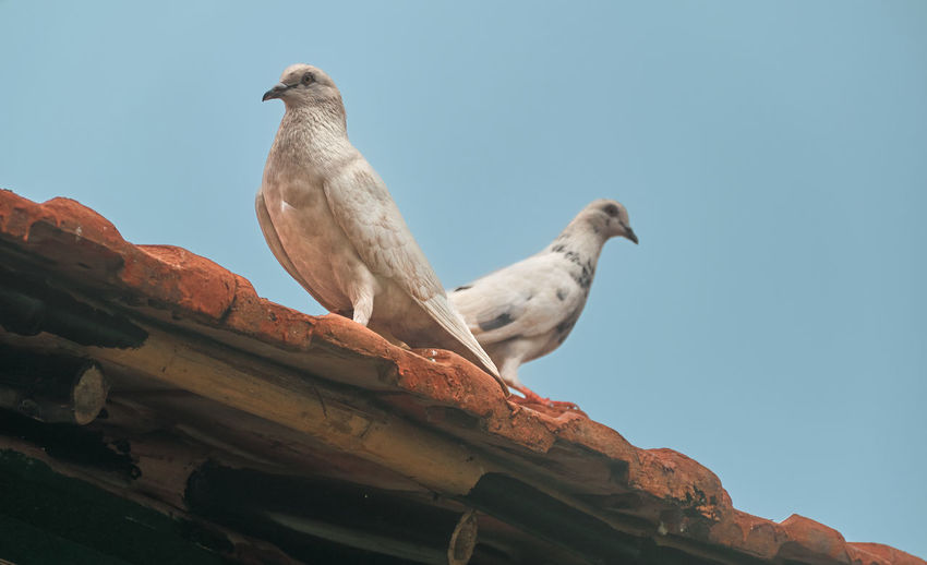 A pair of white pigeons sitting on rooftop tiles, at taki, west bengal