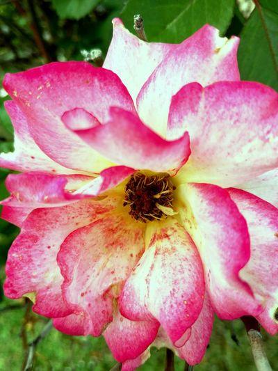 Rose - Flower Flower Pink Color Freshness Flower Head Close-up Lastblooms EyeEm Gallery Eyeflowers