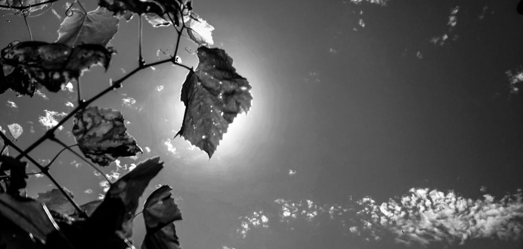 Beauty In Nature Blackandwhite Bnw Clouds And Sky Day Focus On Foreground Fragility Grape Growing Growth Idyllic Leaf Leaves Natural Pattern Nature No People Outdoors Plant Scenics Sky Sunny Tranquil Scene Tranquility Tree Weather Black And White Friday