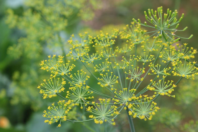 dill flower screens with yellow flowers and green of a screen with another blurry one in the background. Dill Dill Flowers Beauty In Nature Close-up Day Flower Flowering Plant Focus On Foreground Fragility Freshness Green Color Growth Leaf Nature No People Outdoors Plant Plant Part Selective Focus Spiky Sunlight Tranquility Vulnerability