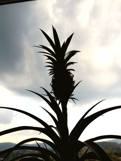 Palm Tree Black Color Tree No People Agriculture Plant Sky Day Outdoors Ananas Enjoying Life Nature Nature_collection Nature Photography Sky And Clouds Sky And Trees Quiet Moments Indoors  Green Color Grass Shadow Tree Pictureoftheday