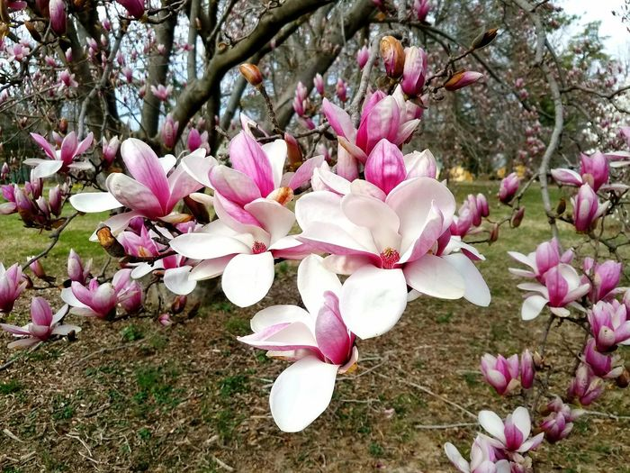 A close-up of a blooming pink magnolia flowers Flower Head Tree Flower Branch Springtime Pink Color Petal Blossom Magnolia Close-up