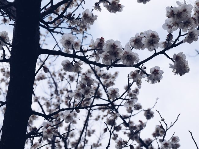 Tree Plant Flowering Plant Flower Branch Low Angle View Beauty In Nature