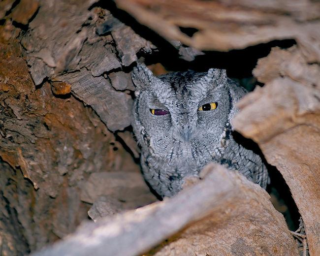 An Arizona Screech Owl awakening from a long day of sleep. Arizona Animal Animal Themes Animal Wildlife Animals In The Wild Close-up Day Nature No People One Animal Outdoors Owl Portrait Screech Owl Tree Vertebrate