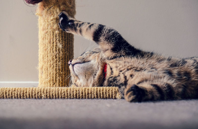 Tabby kitten sleeping in an unusual way against a scratching post. close-up of cat relaxing