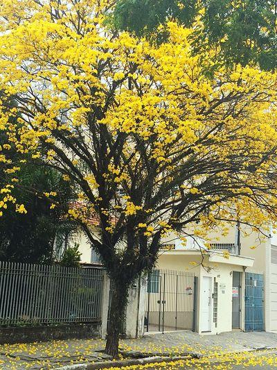 Branch Tree Day Flower Yellow Trreflower First Eyeem Photo