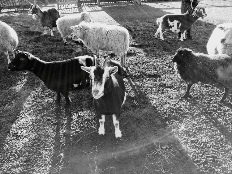 Domestic Animals Shadow