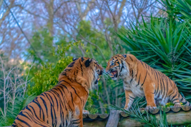 Feline Animal Animal Themes Mammal Cat Animal Wildlife Group Of Animals Plant Big Cat Tiger Animals In The Wild Two Animals Tree Vertebrate Carnivora Day Nature No People Focus On Foreground Outdoors Undomesticated Cat