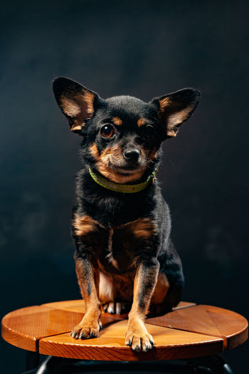 Portrait of puppy sitting