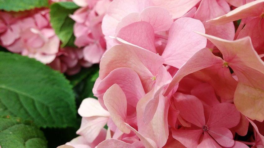 Pink Flower 🌸 Pink Flower Pinkflowers Pinkflower Pink Flowers Pinksky Pink Color Flower Head EyeEm Best Shots - Nature Plant Full Frame Pink Flowers In Bloom Petal Flower Freshness EyeEm Gallery EyeEmBestPics EyeEm Best Edits Outdoors Beauty In Nature Nature Macro Eyem Best Shots By _photoinn😉