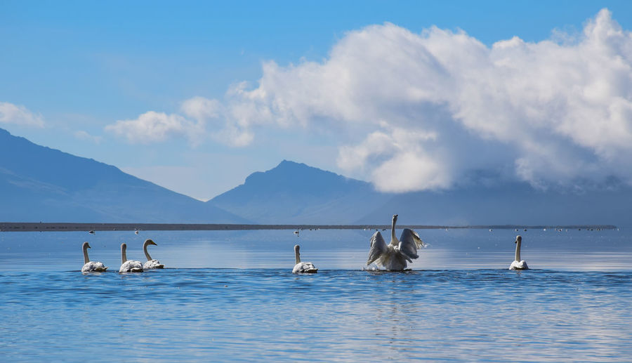 Swans, Iceland Day Landscape Mountain Nature Nautical Vessel No People Outdoors Sea Sky Water Yachting
