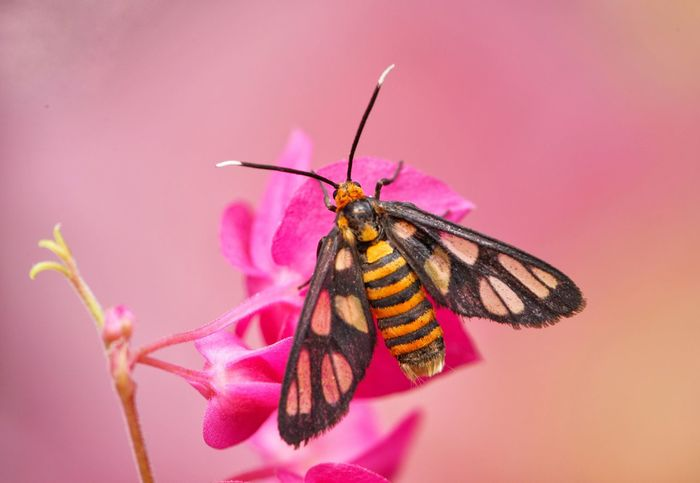 Tiger moth on pink flower Insect Animal Themes Animals In The Wild Flower Nature Petal Beauty In Nature Pink Color Fragility Animal Wildlife Flower Head Outdoors Tiger Moth Macro Close-up Nature One Animal Pink Flower