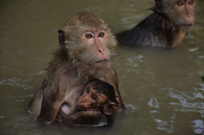 Animal Family Animal Themes Animal Wildlife Animals In The Wild High Angle View Infant Japanese Macaque Lake Mammal Monkey Nature Primate Swimming Two Animals Water Waterfront Young Animal