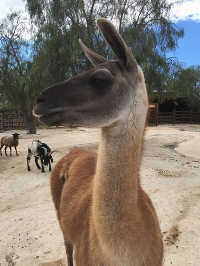 Lama Lamaphotography Check This Out That's Me Hanging Out Hello World Cheese! Hi! Relaxing Taking Photos Enjoying Life Travel SPAIN Spain♥ Spain ✈️🇪🇸 Taking Photos Photo Photography Animal Friends Animal Friends Animal Friend