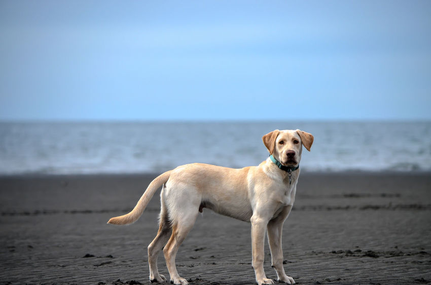 Yellow Labrador on the beach Animal Themes Beach Beauty In Nature Clear Sky Day Dog Domestic Animals Horizon Over Water Labrador Retriever Mammal Nature No People One Animal Outdoors Pets Sand Sea Sky Water Yellow Labrador