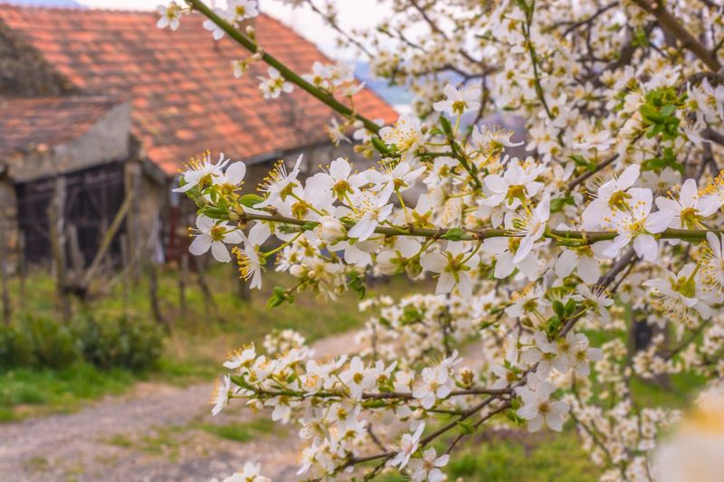 Cherry tree on field by house