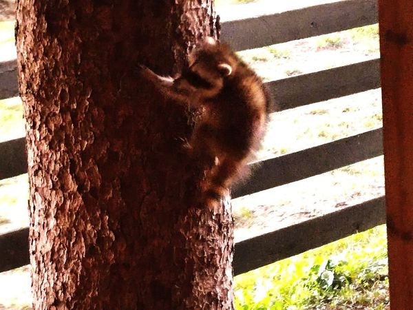 Animals In The Wild Outdoors No People Animal Themes Racoon Close Up Racoon Climbing Tree Baby Raccoon Nature