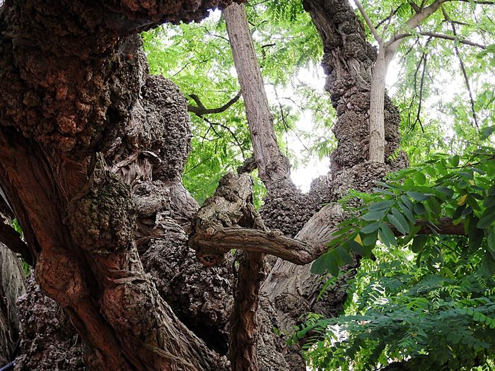 Very Ancient Tree Tree Tree Trunk Nature Growth Root No People Green Color Forest Outdoors Day Beauty In Nature Low Angle View Branch Close-up