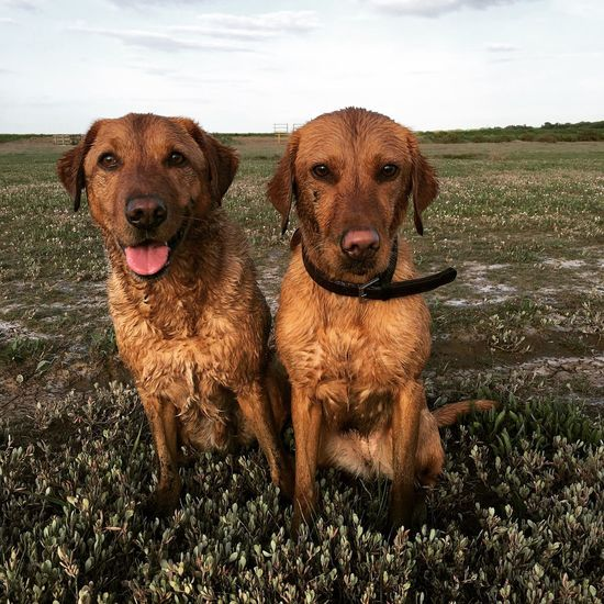 Bonzo and Georgie @bonzosworld Instagram Dog Mammal Animal Themes Pets Domestic Animals Sticking Out Tongue Looking At Camera Retriever Portrait Togetherness No People Playing Golden Retriever Outdoors Day Nature Sky Lab Labrador Labrador Retriever Red Lab