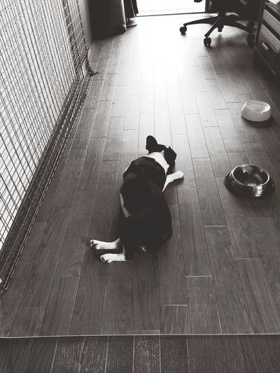 見返りプーチン Bostonterrier Ilovemydog ボストンテリア Boston Terrier