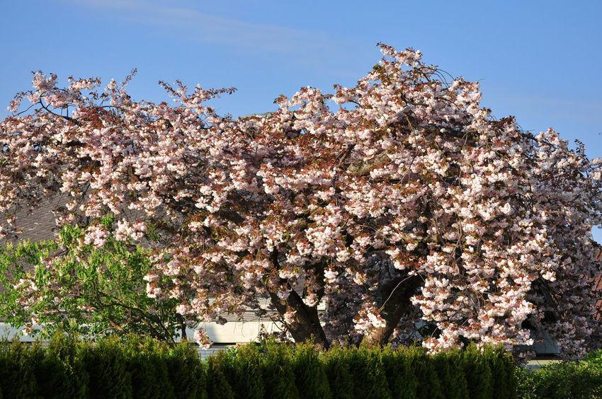 Sakura Blooming Clear Sky Freshness Full Bloom Garden Gardening Equipment Ornamental Cherry Tree Prunus Serrulata Shirofugen Springtime