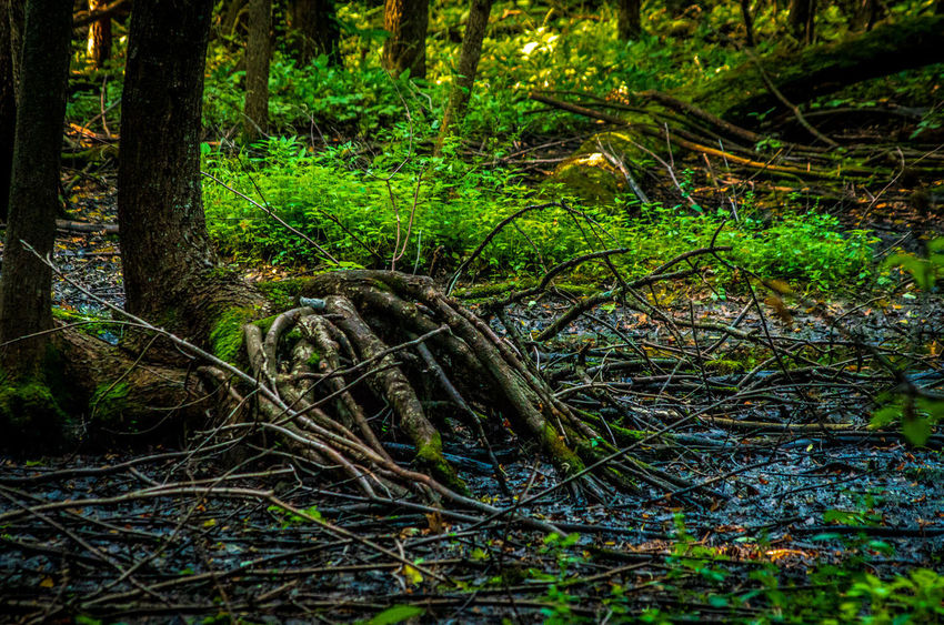 Beauty In Nature Day Fallen Tree Forest Green Color Growth Land Moss Nature No People Non-urban Scene Outdoors Plant Rainforest Root Root Structure Swamp Tangled Tranquil Scene Tranquility Tree Tree Trunk Trunk WoodLand