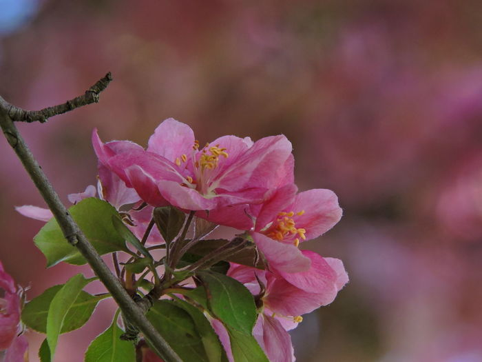 Flowering Trees Flowering Plant Flower Plant Beauty In Nature Pink Color Fragility Growth Vulnerability  Freshness Petal Close-up Inflorescence Flower Head Nature Plant Part Focus On Foreground No People Leaf Day Outdoors Springtime Pollen Spring
