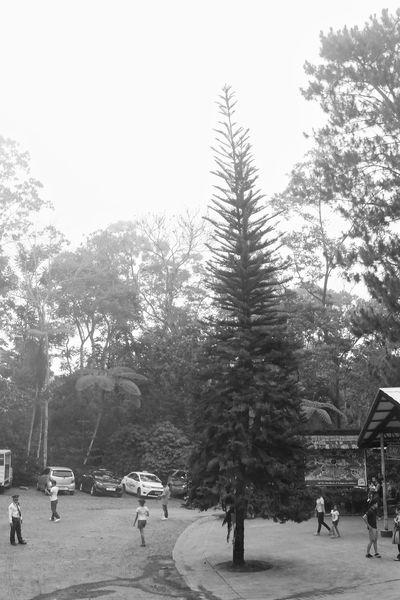 Bnw Bnw_captures Bnwphotography Blackandwhite Photography Blackandwhite Blackandwhitephotography Pinetree Philippines Edennaturepark Edennatureresort Gloomyday  Photooftheday